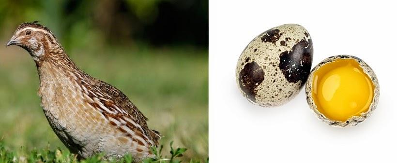 Польза перепелиных яиц в народной медицине