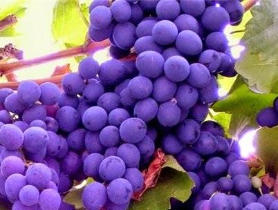 Применение масла из виноградной косточки